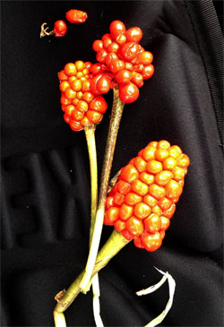 Jack-In-The-Pulpit Seeds